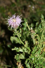 1276968432 Creeping_Thistle 2007-08-29_19:42:47 Greenham_Common