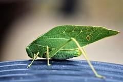 Katydid (mattpitchford) Tags: katydid insects oldglass oldlenses macro