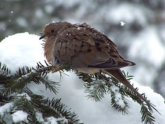 mourning dove (winteridge2) Tags: winter snow cold birds bravo top20winter dove mourningdove zenaidamacroura baldwinsville featheryfriday 35faves 25faves abigfave anawesomeshot impressedbeauty bestnaturetnc07