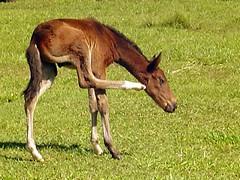 Coçando (Goga_) Tags: animal cavalo fazenda cavalinho potro goga coceira gogliardo potrinho