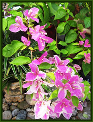 Bougainvillea 'Aiskrim' (synonym: B. 'Surprise' or B. 'Miss Universe') with pink & white bi-colored bracts