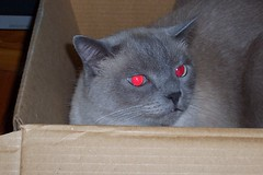 Rousseau with red eyes (Bibi) Tags: cute cat grey gris furry chat box gato caixa cinza fofinho bote rousseau inthebox