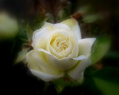 white rose (karin_b1966) Tags: flowers plant flower nature beautiful rose wonderful ilovenature soft blossom frankfurt natur pflanze picasa softfocus blume blte palmengarten flowerpower florafauna walkinginnature dreamscapes excellence naturephotography flowergarden gardenflowers standingovation yourview fantasticflowers flowercloseups colorsoftheworld natureandgarden greatshots beautifullife beautifulworld contactwithnature closerandclosermacrophotography 123nature views100 favorites10 views200 views400 views300 flowerphotography simplynature beautyisintheeyeofthebeholder flowersflowersflowers awesomenature beautyofnature flickrflowrpowr thebeautyinlife flickrnature a1f1 justmeandmycamera mywinners iusedpicasa softfokus whiteflowersonly photofans naturegroupfromanimalstoplants p1f1 pictureofflowers wonderousnature anyflowers floweraddicts mothernaturemadretierra impressedbeauty flickritis21000flickrfanscantbewrong beautyofthenatureworld natureandallitsbeauty aroseaqueeninitself