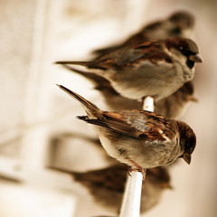 599 (Sau GM) Tags: bird birds animal animals sepia dof aves pjaros sparrow ave animales sparrows pjaro gorrin gorriones explore4 animalkingdomelite abigfave impressedbeauty superaplus ltytr1