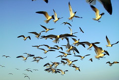 Flock of Seagulls (.emily.) Tags: ocean blue summer sky seagulls galveston bird beach birds animal animals island fly flying inflight wings texas seagull air flock group flight bluesky bunch galvestonisland hovering intheair hover onblue flockofseagulls againstthesky