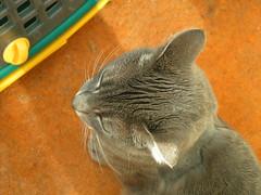 Peep in the sunroom (LaBrunetteNouvelle) Tags: sun cat chat kitty ears gato kitties peep katze kittyschoice catnipaddicts