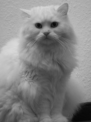 Emilly (mauzlover) Tags: white black cat persian emily feline chat longhair kitty katze emilly kissablekats bestofcats impressedbeauty mauzlover