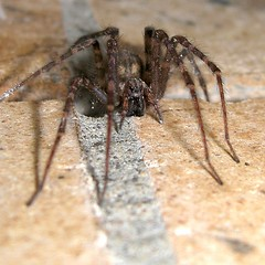 Don't mess with me, I survived an inferno! (macropoulos) Tags: spider animalia arthropoda araneae canonpowershots45 tegenaria agelenidae chelicerata specnature 250v10f arachida