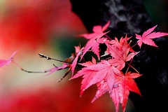 winter Red (yocca) Tags: autumn winter red leaves japan leaf kyoto gutentag 2006 100v10f dec momiji 1000views 50faves 25fave