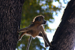 Wild African Monkey making his way up the trees (eig32085) Tags: bestnaturetnc06