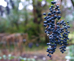 Purple Berries On A Rainy Christmas Day  (mightyquinninwky) Tags: brown green rain bush backyard purple kentucky rainy lexingtonky fayettecountyky purpleberries christmasday chevychase fontaineroad centralkentucky