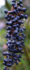 Purple Berries On A Rainy Day (mightyquinninwky) Tags: brown green beautiful rain topv111 bush pod backyard purple 5 kentucky lovely1 rainy lexingtonky fayettecountyky 500 purpleberries pow christmasday chevychase fontaineroad 2on2featurepair centralkentucky bfv1 ci33 jasonpresser 11223344556677