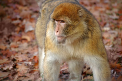 Barbary macaque monkey (mape_s) Tags: wood wild cute nature animal hair fur mammal zoo monkey wildlife jungle ape apenheul snout muzzle rhesusmonkey barbarymacaque macacamulatta specanimal mariekekuijpers