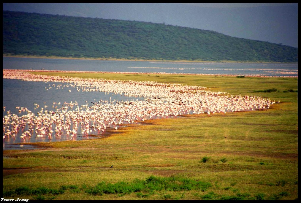 More than 1 million flamingoes on Lake Bogoria
