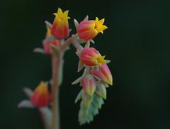 今年もよろしく! (michenv) Tags: flower succulent interestingness australia explore happynewyear eveninglight explore3jan07 interestingness118 i500 今年もよろしく