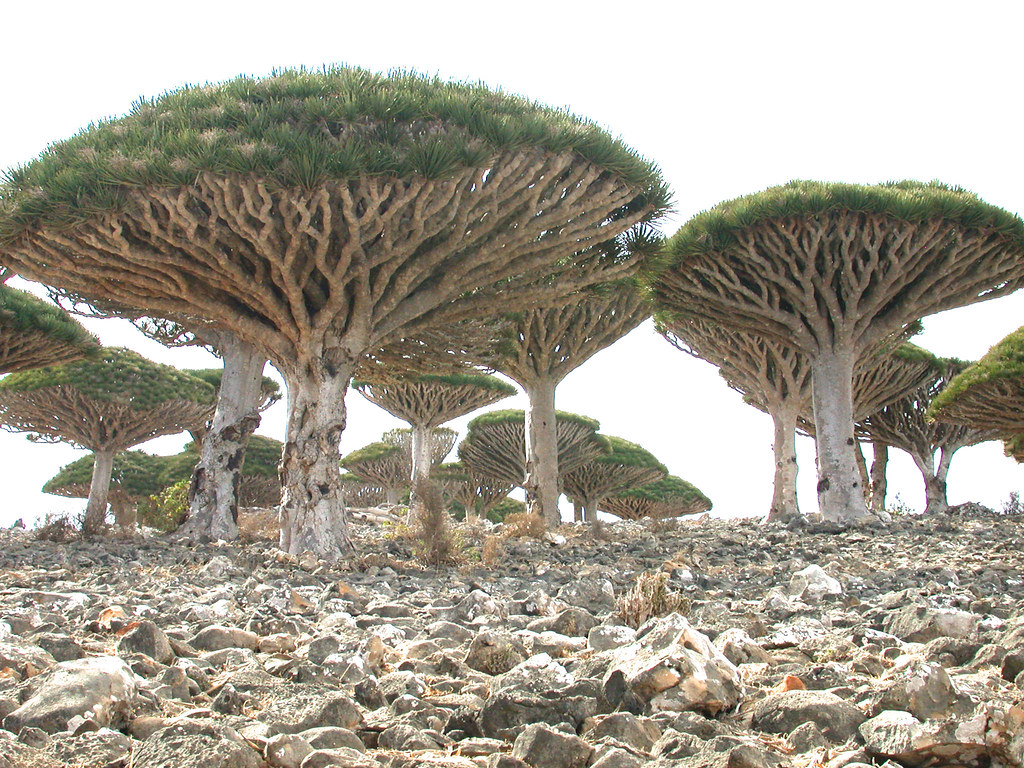 The incredible trees of Socotra Islands, Yemen