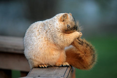 Face Wash (James Marvin Phelps) Tags: life urban cute nature animal photography james rodent furry backyard squirrel wildlife sciences phelps vie cureuil faune rongeur abigfave mandj98 ultimateshot highqualityanimals