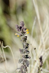 Lindenbergia indica (Bob Reimer) Tags: oman khutwah enhg wilayatmahdah lindenbergiaindica