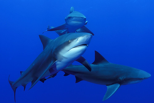 Bull Sharks Swimming Together off South Mozambique