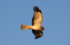 northern harrier (royce10) Tags: birds pentax sigma70300apodg k100d