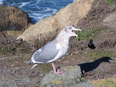 20070118 Seagull
