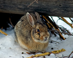 A Rabbit Warren Welcome (Fort Photo) Tags: snow cute bunny bunnies nature animal mammal colorado fort eating critter wildlife fortcollins co series warren rabbits collins 2007 leporidae abigfave