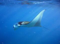 manta close 2 surface (shappell) Tags: ocean hawaii ray underwater eagle dive maui manta snorkle ukumahame