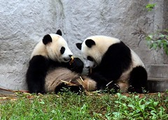 PANDAS IN CHENGDU CHINA (electra-cute) Tags: