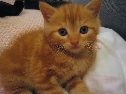scottish cat breeds