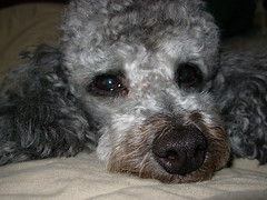 Pablo philosophiert (Pablo the Doggie) Tags: dog pet animal silver toy fluffy canine superman suit jacket poodle cuddly batman batdog superdog