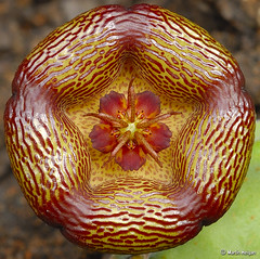 Stapelia engleriana flower (Martin_Heigan) Tags: camera flower macro nature digital southafrica succulent nikon close martin corona photograph d200 dslr stapelia asclepiadaceae 60mmf28micro asclepiad stapeliad engleriana nikonstunninggallery heigan 27january2007 hugyourcacti cactisucculentsbulbplants mhsetstapeliads mhsetflowers