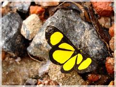 Amarelo (Luma Kimura) Tags: minasgerais yellow butterfly amarelo borboleta monteverde p200