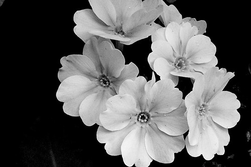 black and white flowers. Flowers in Black amp; White