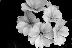 Flowers in Black & White