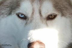 sleepy siberian (bud_marschner) Tags: dog alaska eyes husky siberianhusky siberian impressedbeauty