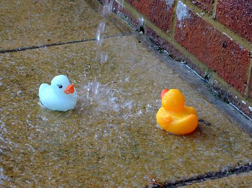 water-ducks