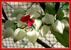 Clerodendrum thomsoniae (Bleeding Heart Vine, Glory Bower)