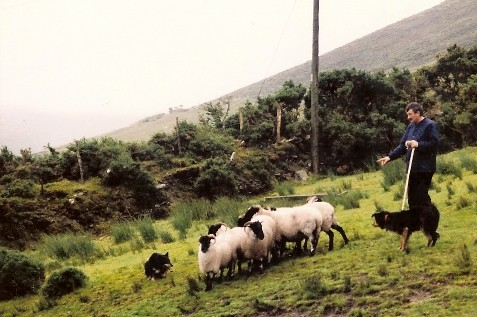 Sheepherding in Kerry, Ireland
