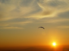 Rising Seagull at Dawn