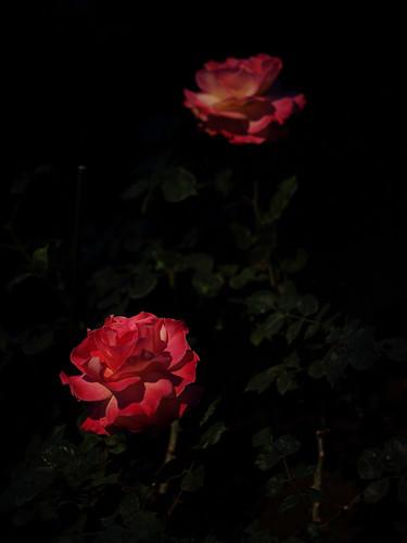 赤い薔薇・白いばら 1