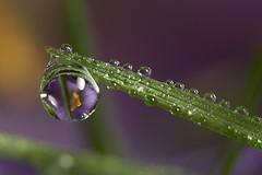 dewdrop crocus flower refraction #2 (Lord V) Tags: macro water dewdrop refraction blueribbonwinner