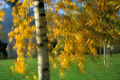 Yellow leaves (Zeb Andrews) Tags: color fall leaves yellow oregon portland doubleexposure nikonfm2 fujivelvia50 cathedralpark bluemooncamera zebandrews zebandrewsphotography