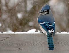 Blue Jay (Troy Johnstone) Tags: blue winter snow bird nature wildlife bluejay