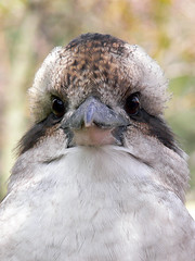 Kooka close up (Timmy Toucan) Tags: park wild portrait bird closeup laughing eyes beak australia victoria national kingfisher wilson wilsons kookaburra gippsland promontory kooka wilsonspromontory laughingkookaburra pdpnw auselite
