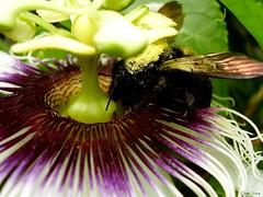 Flor de maracuj... (Cleide Schug) Tags: flor inseto maracuja mamangava duetos