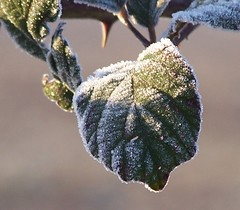 frosty leaf - by Sarah Clair
