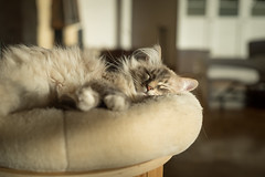 Whyley in the evening light (Jannik Peters) Tags: sony 2470 2470mm gm g master cat beautiful bokeh