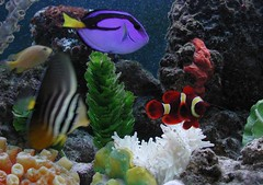 My Saltwater Fish Tank (Scott Kinmartin) Tags: fish tank clownfish fishtank saltwater aqaurium damselfish maroonclownfish sailfintang regaltang saltwaterfishtank goldstripemaroonclownfish sebaeanemone lemondamselfish