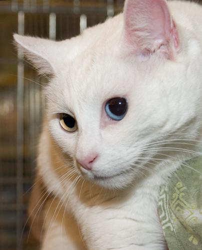 Diskriminerad vit katt