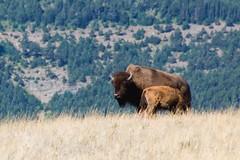 Motherhood, Part Two (Robby Edwards) Tags: vacation animal nationalpark wildlife bison watertonlakes watertonlakesnationalpark specnature watertonglacierinternationalpeacepark abigfave